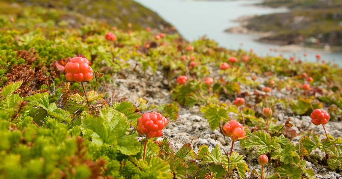 Will there be any cloudberries this year?