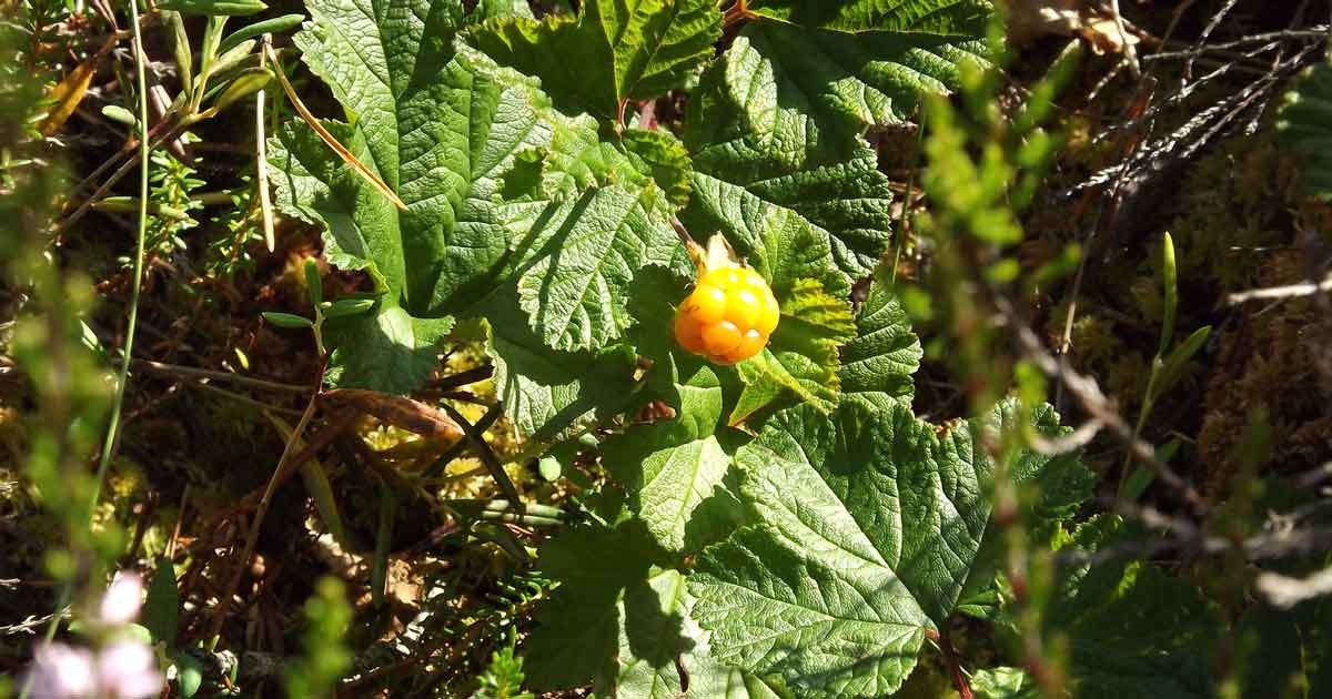 Are cloudberries healthy?