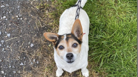 Lily, Jack Russell